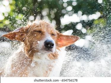 Welsh corgi take a bath