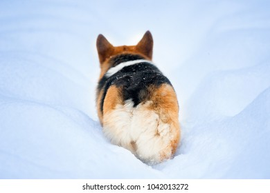 welsh corgie walking away in snowy road back view