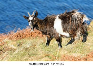 Welsh feral goat (Capra aegagrus hircus) near Llyn Gwynant in Snowdonia National Park Gwynedd North Wales