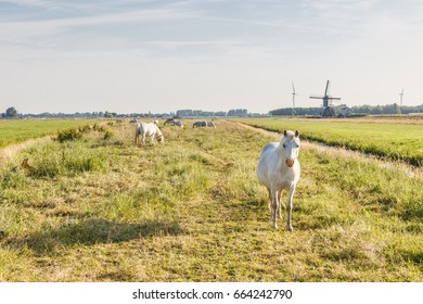 Welsh Mountain ponies during sunrise in Dutch polder landscape with a mill in the background at a slightly overcast sky