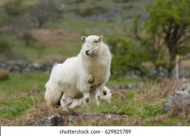 Welsh mountain sheep ewe keeps a watchful guard while feeding her lamb on a rugged mountain pasture in Bala rural North Wales