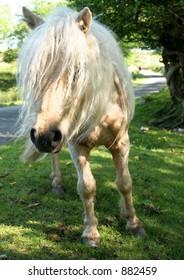 A Welsh Mountain wild pony