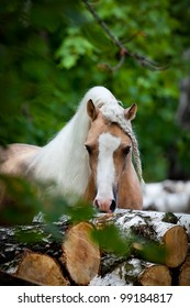 Welsh palomino pony in forest