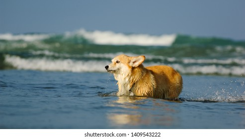 Welsh Pembrok Corgi walking through shallow water in ocean with waves breaking in the background