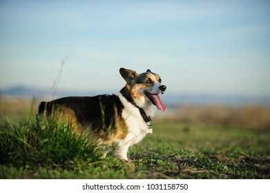 Welsh Pembroke Corgi dog outdoor portrait standing in field