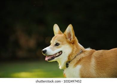 Welsh Pembroke Corgi dog outdoor portrait