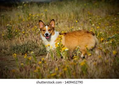 Welsh Pembroke Corgi dog walking through field of spring flowers