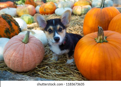 Welsh Pembroke Corgi puppy sitting on a farm cart with pumpkins for fall harvest decorations.