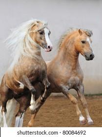 welsh ponies fighting