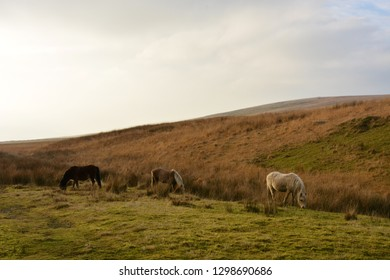 Welsh Ponies on the Black Mountain, Carmarthenshire, Wales.
