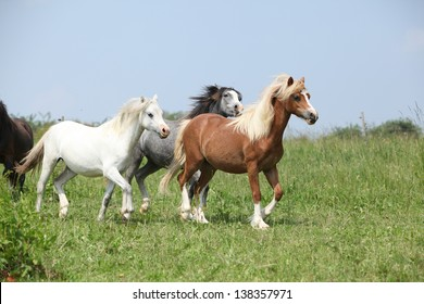Welsh ponnies running together on green pasturage