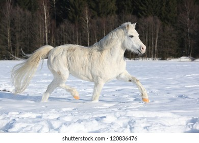 Welsh pony, 16 years old mare