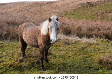 Welsh Pony on the Black Mountain, Carmarthenshire, Wales.