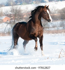 Welsh pony stallion runs gallop in winter time