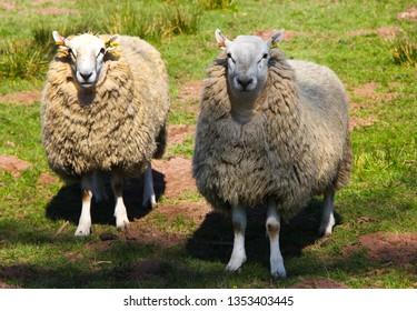 Welsh sheep in field
