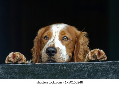 Welsh Springer Spaniel. Adult dog looking over stable door.