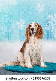 Welsh Springer Spaniel dog Christmas concept image. Dog with a snowy background.