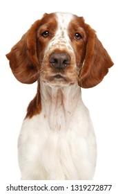 Welsh Springer Spaniel dog. Close-up portrait isolated on white. Animal themes