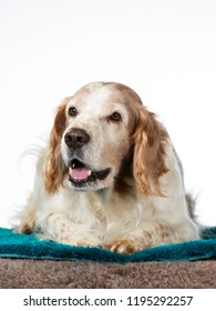 Welsh Springer Spaniel dog portrait. Image taken in a studio with white background.