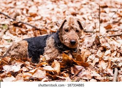 Welsh Terrier in autumn leaves