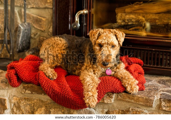 Welsh Terrier Dog Sitting in Front of a Fireplace