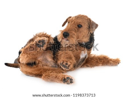 welsh terrier in front of white background