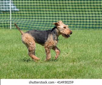 Welsh Terrier Running on Grass Lawn