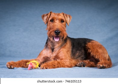 Welsh terrier at  studio portrait on blue textile background