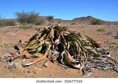 Welwitschia mirabilis in Namibia