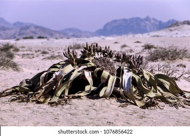 the welwitschia mirabilis, one of the most long-lived plants in the world, namib naukluft park, erongo, namibia, africa