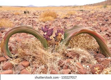 Welwitschia plant (Welwitcshia mirabilis), Namibia