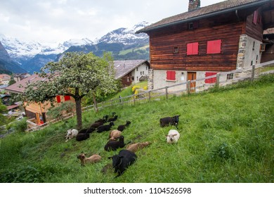 WENGEN, SWITZERLAND : MAY 20, 2018 - Livestock on farmland in Wengen.