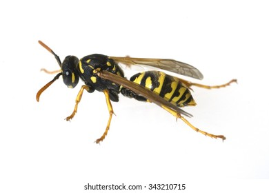 Wespe; Vespula; germanica; Wasp