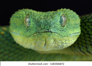 West African bush viper (Atheris chlorechis)