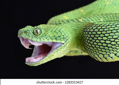 West African bush viper (Atheris chlorechis) attacking
