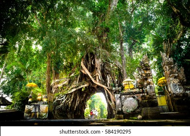 west bali drive through hole holy giant tree bunut bolong in Tropical jungle