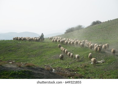 WEST BANK - JANUARY 22: A Palestinian herder leads his flocks in the Jordan Valley, West Bank, January 22, 2014.