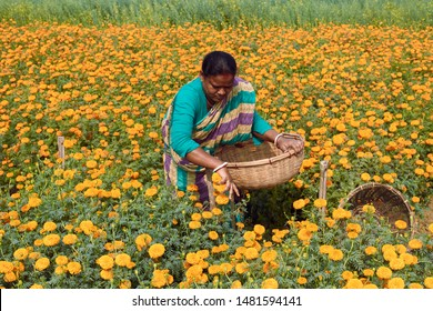 West Bengal, India, 01/13/2019: Farmers working in marigold flower fields, at Khirai, West Midnapore. This area is popularly known as 'valley of flowers' in West Bengal. Taken in winter.