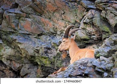 West Caucasian tur, Capra caucasica, sitting on the rock, endangered animal in the nature habitat, Caucasus Mountains, range description Georgia and Russia, Asia. Asia Ibex in rock.