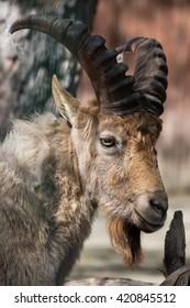 West Caucasian tur (Capra caucasica), also known as the West Caucasian ibex. Wild life animal.
