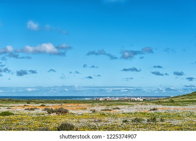 WEST COAST NATIONAL PARK, SOUTH AFRICA, AUGUST 20, 2018: Wild flowers at Postberg near Langebaan on the Atlantic Ocean coast in the Western Cape Province. Chalets and Vondeling Island are visible