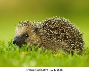 West European Hedgehog (Erinaceus europaeus)