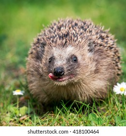 West european hedgehog (Erinaceus europaeus) on a green meadow