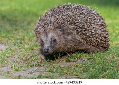 West european hedgehog (Erinaceus europaeus) in nature