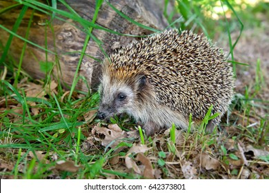 West european hedgehog (Erinaceus europaeus) on the green grass with leaves.