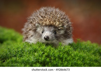 West European Hedgehog in green moss with orange background during autumn.
