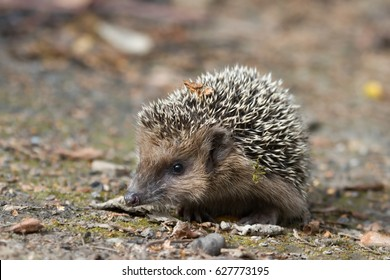West European hedgehog on the ground. Common hedgehog