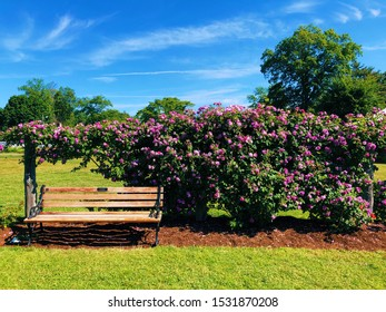 West Hartford, Connecticut,United States.June 15th ,2019.A wooden bench for resting with pink roses tree blooming background in summer inside Elizabeth Park rose garden.