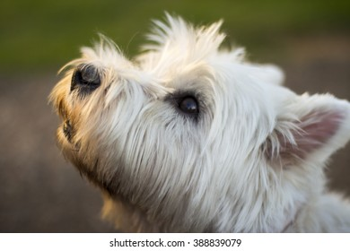 West Highland Terrier Barks