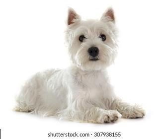 west highland terrier images stock photos vectors shutterstock